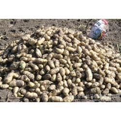 批发内蒙基地繁育优质土豆种子