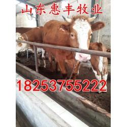 山东惠丰牧业 哪有肉牛种苗卖 肉牛犊