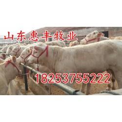 山东惠丰牧业 挑选三个月小肉牛犊价格