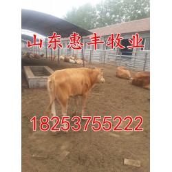山东惠丰牧业 小肉牛犊出售价格 鲁西黄牛