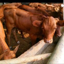 利木赞牛 慧家 利木赞牛养殖厂 牧业纯种利木赞牛 纯种利木赞牛犊 利木赞牛肉牛 良种利木赞牛 具体价格面议
