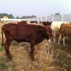 慧家 利木赞牛 利木赞牛养殖厂 牧业纯种利木赞牛 纯种利木赞牛犊 利木赞牛肉牛 良种利木赞牛 具体价格面议